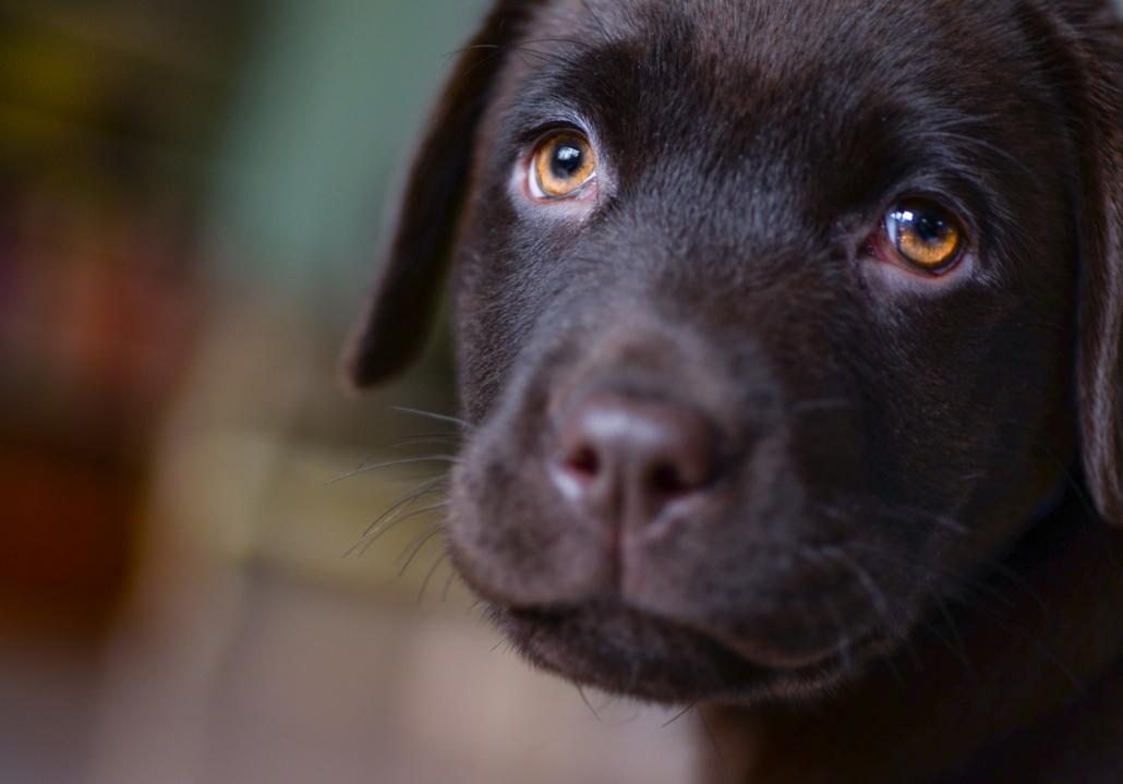 new-puppy-get-a-pet